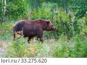 Купить «Predator brown bear in natural habitat, walking in summer woodland. Kamchatka Peninsula», фото № 33275620, снято 20 августа 2019 г. (c) А. А. Пирагис / Фотобанк Лори