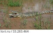 The yawning Nile crocodile in Chamo lake, Ethiopia. Стоковое фото, фотограф Сергей Майоров / Фотобанк Лори