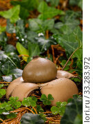 Collared earthstar fungus (Geastrum triplex), Castlewellan forest park, County Down, Northern Ireland. Стоковое фото, фотограф John Cancalosi / Nature Picture Library / Фотобанк Лори