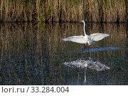 Купить «Great white egret (Egretta alba) landing in a marshland pool at dusk near dense reed beds, RSPB Ham Wall reserve, Somerset, UK, October.», фото № 33284004, снято 9 апреля 2020 г. (c) Nature Picture Library / Фотобанк Лори