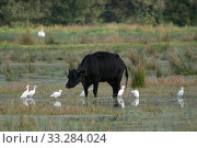 Купить «Group of Cattle egrets (Bubulcus ibis) foraging for insects flushed by a Cow (Bos taurus) as it wades through flooded marshy pastureland, Somerset Levels, UK, October.», фото № 33284024, снято 29 марта 2020 г. (c) Nature Picture Library / Фотобанк Лори