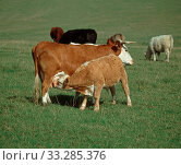 Купить «Older calf suckling milk from its mother among cows in a suckler herd grazing on a downland pasture», фото № 33285376, снято 1 апреля 2020 г. (c) Nature Picture Library / Фотобанк Лори