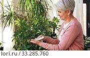 Купить «happy senior woman cleaning houseplant», видеоролик № 33285760, снято 19 января 2020 г. (c) Syda Productions / Фотобанк Лори