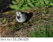 Купить «Белая трясогузка (лат. Motacilla alba)», эксклюзивное фото № 33296020, снято 15 сентября 2014 г. (c) lana1501 / Фотобанк Лори