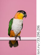 Купить «Single black headed caique bird looking at the side on a pink background with space for copy in a vertical image», фото № 33296296, снято 10 ноября 2019 г. (c) Elles Rijsdijk / Фотобанк Лори