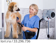 Купить «hairdresser professional dries hair by fen dog fur Afghan hound dog in hairdresser for animal», фото № 33296736, снято 17 октября 2017 г. (c) Татьяна Яцевич / Фотобанк Лори