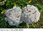 Купить «Wild Sea carrot (Daucus carota subsp. gummifer), flowering on cliffs in South Devon, England, UK. July», фото № 33296800, снято 10 июля 2020 г. (c) Nature Picture Library / Фотобанк Лори