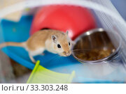 Купить «The red domestic mouse gerbil sits in the cage near a feeding trough with food», фото № 33303248, снято 16 апреля 2019 г. (c) Екатерина Кузнецова / Фотобанк Лори