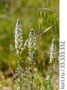 Купить «The plant (Reseda alba) grows close-up in the forest», фото № 33333332, снято 2 марта 2020 г. (c) Татьяна Ляпи / Фотобанк Лори