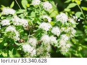 Спирея дубравколистная (Spiraea chamaedryfolia) обильно цветёт. Стоковое фото, фотограф Светлана Попова / Фотобанк Лори
