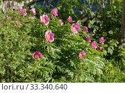 Большой куст пиона Марьин корень (lat. Paeonia anomala) цветёт в саду. Стоковое фото, фотограф Светлана Попова / Фотобанк Лори