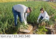 Купить «Woman and bearded guy harvesting scallion», фото № 33343540, снято 5 февраля 2020 г. (c) Яков Филимонов / Фотобанк Лори