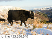 Купить «Welsh Black cattle (Bos taurus), in snow conditions, Brecon Beacons National Park, Breconshire, Wales, February.», фото № 33356540, снято 29 марта 2020 г. (c) Nature Picture Library / Фотобанк Лори
