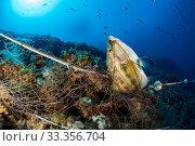 Купить «East Atlantic peacock wrasse (Symphodus tinca) caught in a net, Vis Island, Croatia, Adriatic Sea, Mediterranean», фото № 33356704, снято 5 июля 2020 г. (c) Nature Picture Library / Фотобанк Лори