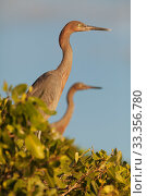 Купить «Reddish Egret (Egretta rufescens), Ria Celestun Biosphere Reserve, Yucatan Peninsula, Mexico, January», фото № 33356780, снято 28 мая 2020 г. (c) Nature Picture Library / Фотобанк Лори