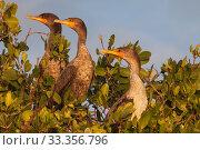 Купить «Double-crested Cormorant (Phalacrocorax / Nannopterum auritus) juvenile, Ria Celestun Biosphere Reserve, Yucatan Peninsula, Mexico, January», фото № 33356796, снято 6 апреля 2020 г. (c) Nature Picture Library / Фотобанк Лори