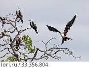 Купить «Magnificent Frigatebird (Fregata magnificens) landing, Ria Celestun Biosphere Reserve, Yucatan Peninsula, Mexico, January», фото № 33356804, снято 31 мая 2020 г. (c) Nature Picture Library / Фотобанк Лори