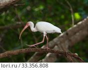 Купить «White Ibis (Eudocimus albus), Ria Celestun Biosphere Reserve, Yucatan Peninsula, Mexico, January», фото № 33356808, снято 30 мая 2020 г. (c) Nature Picture Library / Фотобанк Лори