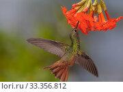 Купить «Buff-bellied Hummingbird (Amazilia yucatanensis) feeding, Ria Lagartos Biosphere Reserve, Yucatan Peninsula, Mexico, May», фото № 33356812, снято 31 мая 2020 г. (c) Nature Picture Library / Фотобанк Лори