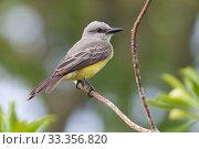 Купить «Tropical Kingbird (Tyrannus melancholicus), Ria Lagartos Biosphere Reserve, Yucatan Peninsula, Mexico, May», фото № 33356820, снято 31 мая 2020 г. (c) Nature Picture Library / Фотобанк Лори