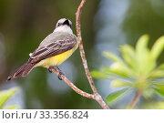 Купить «Tropical Kingbird (Tyrannus melancholicus), Ria Lagartos Biosphere Reserve, Yucatan Peninsula, Mexico, May», фото № 33356824, снято 31 мая 2020 г. (c) Nature Picture Library / Фотобанк Лори