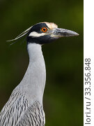Купить «Yellow-crowned Night-heron (Nyctanassa violacea), Ria Celestun Biosphere Reserve, Yucatan Peninsula, Mexico, January», фото № 33356848, снято 13 июля 2020 г. (c) Nature Picture Library / Фотобанк Лори