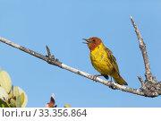 Купить «Mangrove Warbler (Setophaga petechia bryanti) singing, Ria Celestun Biosphere Reserve, Yucatan Peninsula, Mexico, August», фото № 33356864, снято 31 мая 2020 г. (c) Nature Picture Library / Фотобанк Лори