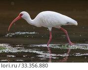Купить «White Ibis (Eudocimus albus), Ria Celestun Biosphere Reserve, Yucatan Peninsula, Mexico, January», фото № 33356880, снято 31 мая 2020 г. (c) Nature Picture Library / Фотобанк Лори