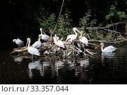 Кудрявые пеликаны (лат. Pelecanus crispus) Стоковое фото, фотограф Елена Коромыслова / Фотобанк Лори