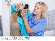 Купить «mature woman hairdresser wipes puppy of Afghan hound in hairdresser for dogs», фото № 33360708, снято 17 октября 2017 г. (c) Татьяна Яцевич / Фотобанк Лори