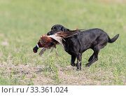 Купить «Labrador retrieving a Common pheasant (Phasianus colchicus) Bas-Rhin, France, November.», фото № 33361024, снято 4 апреля 2020 г. (c) Nature Picture Library / Фотобанк Лори