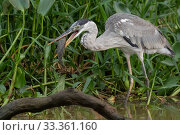 Купить «Cocoi heron (Ardea cocoi), with catfish prey, Pantanal, Mato Grosso, Brazil.», фото № 33361160, снято 29 мая 2020 г. (c) Nature Picture Library / Фотобанк Лори