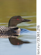 Common loon (Gavia immer), on a lake , Michigan, USA. June. Стоковое фото, фотограф Sylvain Cordier / Nature Picture Library / Фотобанк Лори