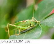 Крупный кузнечик сидит на траве. Стоковое фото, фотограф Игорь Низов / Фотобанк Лори
