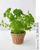 green parsley herb in wicker basket on table. Стоковое фото, фотограф Syda Productions / Фотобанк Лори