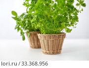 close up of parsley herb in wicker basket. Стоковое фото, фотограф Syda Productions / Фотобанк Лори