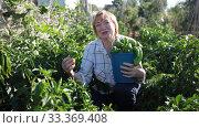 Купить «Mature woman working at smallholding, harvesting green peppers», видеоролик № 33369408, снято 21 августа 2019 г. (c) Яков Филимонов / Фотобанк Лори