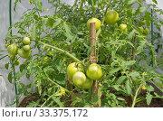 Купить «Зеленые помидоры растут в парнике на дачном участке», фото № 33375172, снято 15 июля 2019 г. (c) Елена Коромыслова / Фотобанк Лори