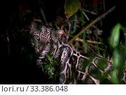 Sunda clouded leopard (Neofelis diardi) at night, Deramakot Forest Reserve, Sabah, Malaysian Borneo. Стоковое фото, фотограф Ben  Cranke / Nature Picture Library / Фотобанк Лори