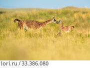 Купить «Guanaco (Lama guanicoe) female and newborn baby, nose to nose in grassland. La Pampa Province, Argentina.», фото № 33386080, снято 5 июня 2020 г. (c) Nature Picture Library / Фотобанк Лори