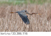Купить «Purple heron (Ardea purpurea) flying over a reedbed. Els Rodells Nature Reserve, Ebro Delta, Catalonia, Spain.», фото № 33386116, снято 30 марта 2020 г. (c) Nature Picture Library / Фотобанк Лори