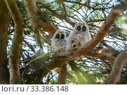 Long-eared owls (Asio otus) in the nest, Bavaria, Germany, June. Стоковое фото, фотограф Konrad Wothe / Nature Picture Library / Фотобанк Лори