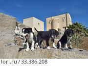 Купить «Street dog puppies, Santorini Island, Greece, September», фото № 33386208, снято 10 июля 2020 г. (c) Nature Picture Library / Фотобанк Лори
