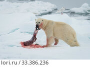 Купить «Polar bear (Ursus maritimus) with seal kill, Spitsbergen, Svalbard, Norway.July.», фото № 33386236, снято 29 марта 2020 г. (c) Nature Picture Library / Фотобанк Лори