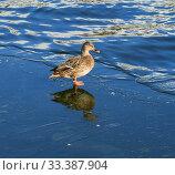 Mallard, dabbling duck, belongs to subfamily Anatinae of waterfowl family Anatidae. Стоковое фото, фотограф Валерия Попова / Фотобанк Лори