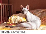 Купить «Sphynx cat washing itself on bed in bedroom, sitting in sunlight», фото № 33403432, снято 3 июля 2009 г. (c) Кекяляйнен Андрей / Фотобанк Лори