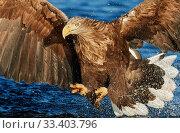Купить «White-tailed Eagle (Haliaetus albicilla) Norway, November.», фото № 33403796, снято 4 апреля 2020 г. (c) Nature Picture Library / Фотобанк Лори