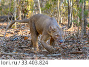 Купить «Fosa or Fossa (Cryptoprocta ferox)(sometimes erroneously fossa) male in dry deciduous forest. Kirindy, western Madagascar.», фото № 33403824, снято 29 мая 2020 г. (c) Nature Picture Library / Фотобанк Лори