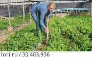 Купить «Young woman gardener in apron working with Malabar spinach in hothouse», видеоролик № 33403936, снято 8 апреля 2020 г. (c) Яков Филимонов / Фотобанк Лори