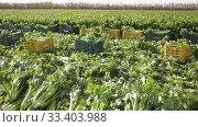 Купить «Closeup of freshly harvested green celery on plantation in sunny day», видеоролик № 33403988, снято 27 января 2020 г. (c) Яков Филимонов / Фотобанк Лори